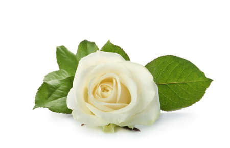 Beautiful fresh rose on white background. Funeral symbol