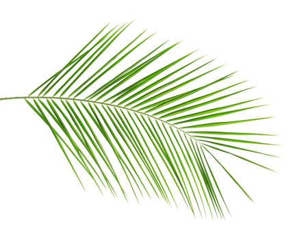 Fresh tropical date palm leaf on white background Reklamní fotografie