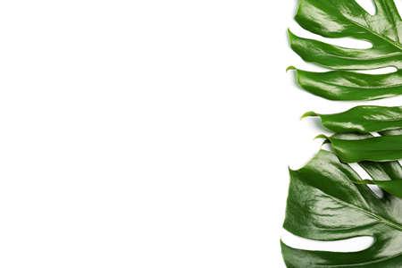 Fresh tropical monstera leaves on white background, top view Reklamní fotografie