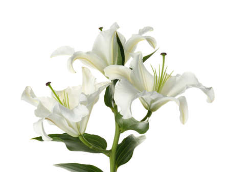 Beautiful lilies on white background. Funeral flowers Stock Photo