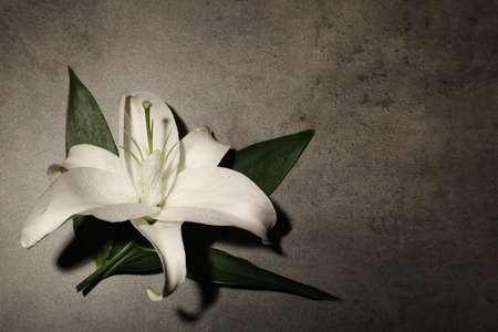 Beautiful lily and space for text on gray background. Funeral flower
