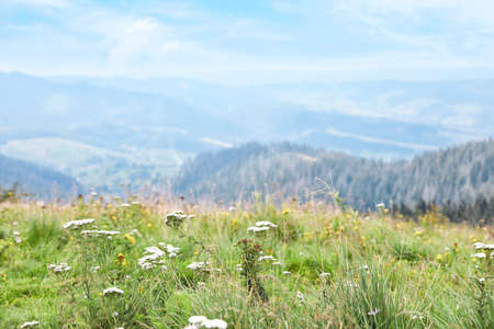 Picturesque landscape with wildflowers in meadow and mountain forest on background