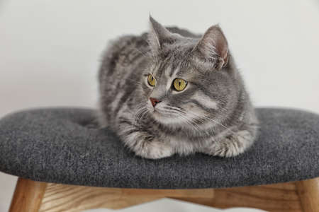 Adorable grey tabby cat on stool against light background