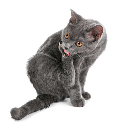 Adorable grey British Shorthair cat on white background