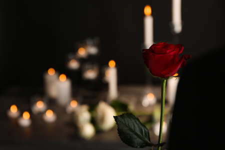 Beautiful red rose on blurred background. Funeral symbol