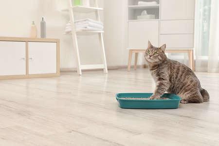 Entzückende graue Katze nahe Katzentoilette drinnen. Tierpflege Standard-Bild