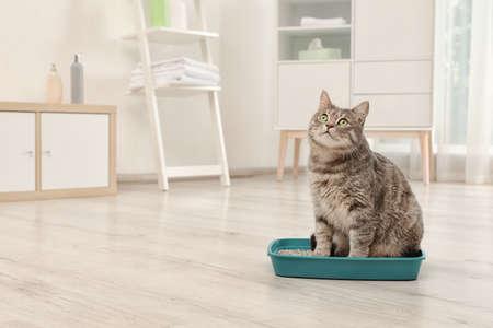 Entzückende graue Katze in der Katzentoilette drinnen. Tierpflege Standard-Bild