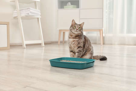 Adorable grey cat near litter box indoors. Pet care Фото со стока - 107226522