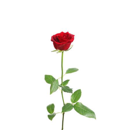 Rosa de tallo largo rojo sobre fondo blanco.