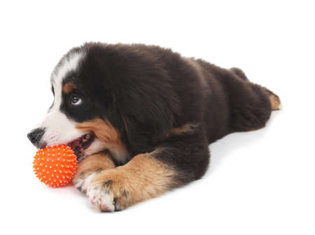 Adorable Bernese Mountain Dog puppy on white background
