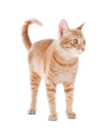 Adorable yellow tabby cat on white background