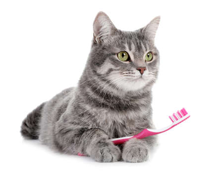 Schöne graue getigerte Katze mit Zahnbürste auf weißem Hintergrund Standard-Bild