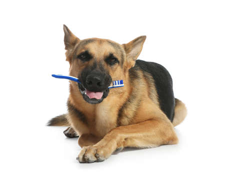 Cute German shepherd dog with toothbrush on white background. Pet care Stock Photo