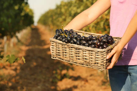 Woman holding basket with fresh ripe juicy grapes in vineyard, closeup
