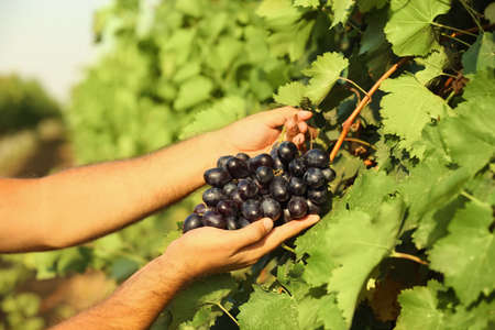 Man picking fresh ripe juicy grapes in vineyard, closeup Banco de Imagens