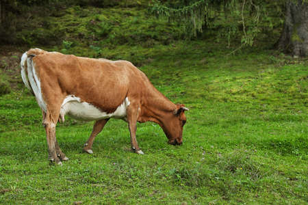 Brown cow grazing on green pasture in summer Stock Photo