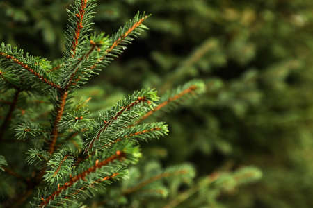 Beautiful fir with green branches in forest, closeup