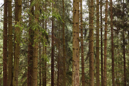 Picturesque view of beautiful green coniferous forest