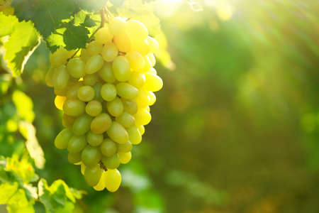Bunch of fresh ripe juicy grapes against blurred background