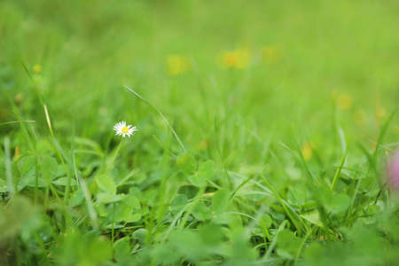 Green meadow with blooming wild flower, closeup