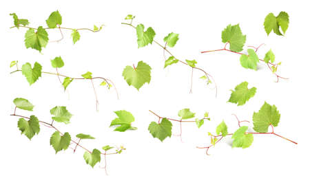 Set with grapevines and green leaves on white background