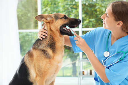 Doctor cleaning dog's teeth with toothbrush indoors. Pet care 免版税图像