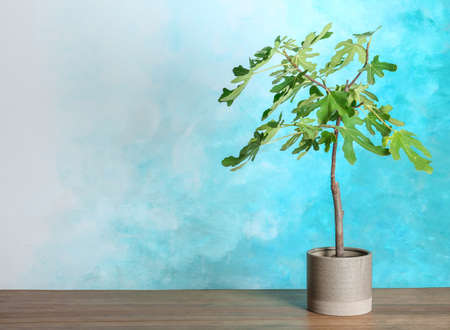 Flowerpot with young fig tree on table against color background. Space for text
