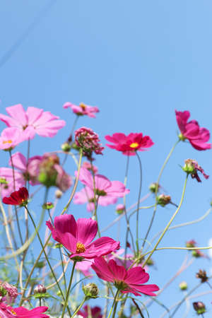 Beautiful cosmos flowers against blue sky. Meadow plant