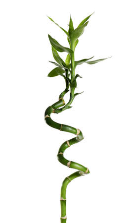 Green bamboo stem with leaves on white background