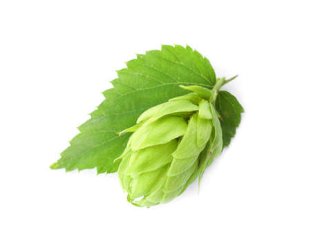 Fresh green hop on white background. Beer production