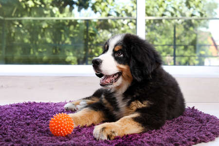 Adorable Bernese Mountain Dog puppy on fuzzy rug indoors