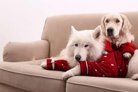 Cute dogs in warm sweaters on sofa at home. Christmas celebration Stock Photo