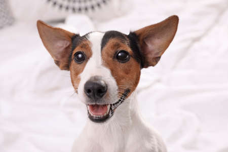 Cute Jack Russel Terrier at home. Adorable pet Archivio Fotografico