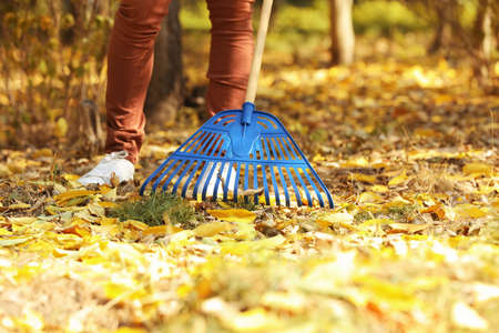 Man cleaning up fallen leaves with rake on sunny day. Autumn work