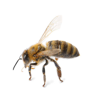 Beautiful honeybee on white background. Domesticated insect