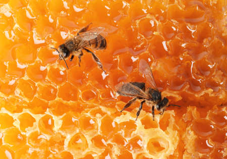 Beautiful bees on honeycomb, closeup. Domesticated insects