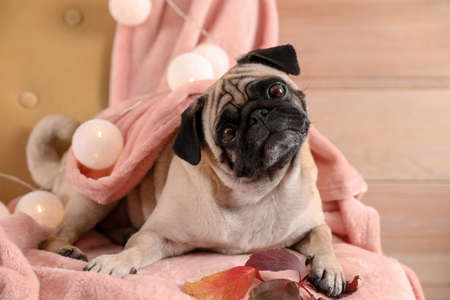 Cute pug dog with blanket and fairy lights on chair at home. Cozy winter