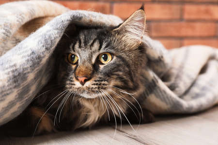 Cute cat with blanket on floor at home.  Warm and cozy winter