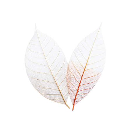 Beautiful decorative skeleton leaves on white background, top view