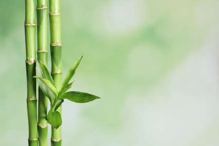 Green bamboo stems on blurred background with space for text