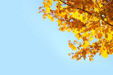 Branches with autumn leaves against blue sky on sunny day. Space for text 스톡 콘텐츠