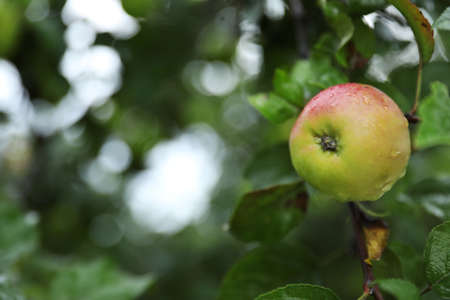 Branch of apple tree with ripe fruit in garden, closeup Stock Photo