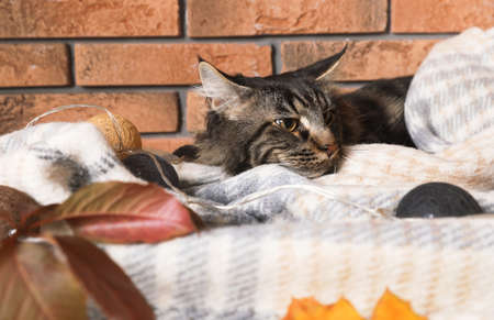 Cute cat with blanket and fairy lights near brick wall at home. Cozy winter Stock Photo