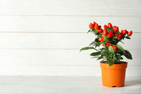Potted chili pepper plant on wooden table. Space for text