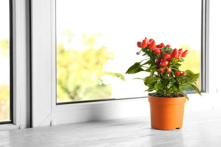 Potted chili pepper plant on wooden windowsill. Space for text Stock Photo