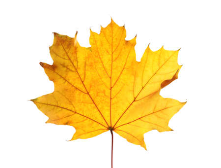 Beautiful autumn leaf on white background. Fall foliage