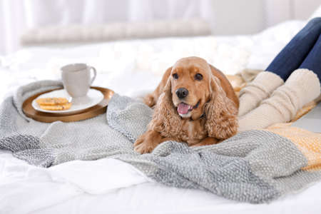 Cute Cocker Spaniel dog with warm blanket lying near owner on bed at home. Cozy winter Фото со стока