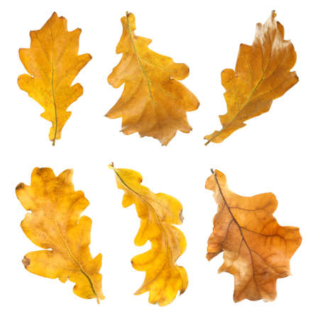 Set of autumn dried leaves on white background