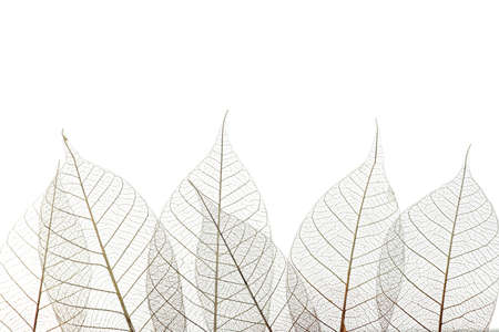 Beautiful decorative skeleton leaves and space for text on white background 写真素材