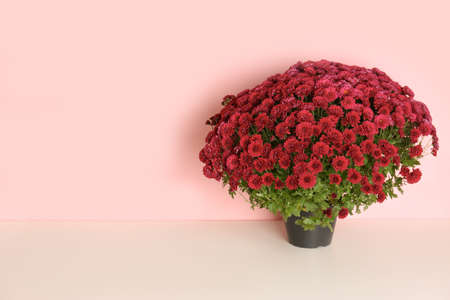 Beautiful potted chrysanthemum flowers on table against color background. Space for text Banque d'images